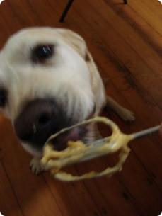 Noogie - official taste tester for Sweet Chops gourmet dog treats